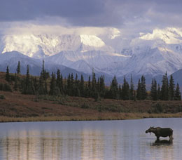 Moose in Lake in Anchorage Alaska